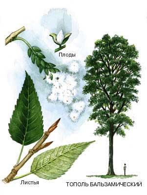 фото дерева тополь