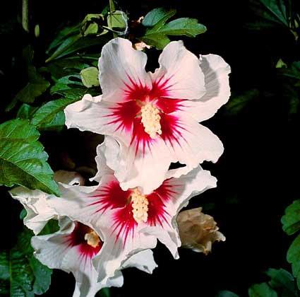 Гибискус - яркий воронковидный цветок, который окутывает густая крона листьев.