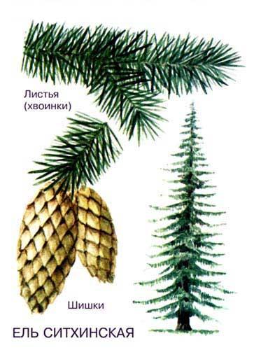ЕЛЬ СИТХИНСКАЯ – ценная древесная порода тихоокеанского побережья Северной Америки. Это самый крупный представитель рода, достигающий в высоту 60 м.
