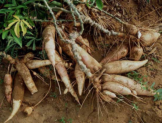 КАССАВА, кустарник родом из Бразилии, повсеместно культивируемый в тропиках. IGDA/C. Sappa