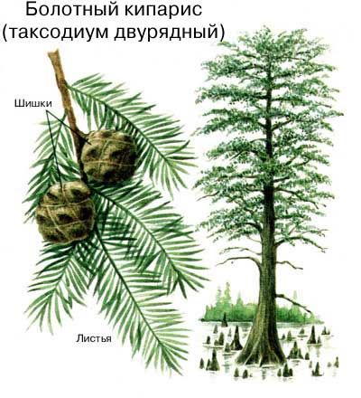 ТАКСОДИУМ может расти в условиях длительного затопления; при этом его корни снабжаются с помощью отходящих от них вертикальных выростов – пневматофоров, поднимающихся над поверхностью воды.