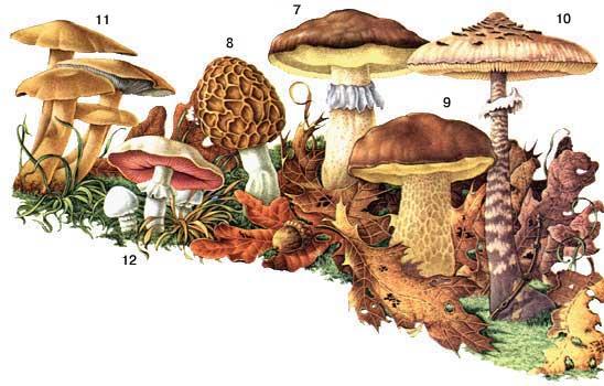 Ядовитые грибы самые опасные грибы