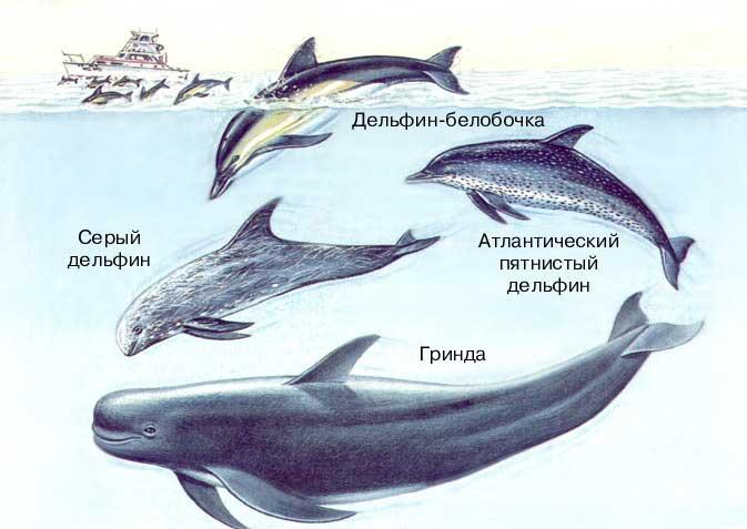 Виды семейства дельфиновых (Delphinidae) обитают во всех открытых морях...