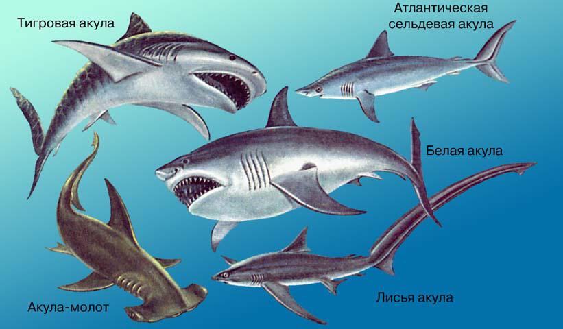 ...рыб.  Все 350–375 ныне живущих видов характеризуются хрящевым скелетом, 5–7 жаберными