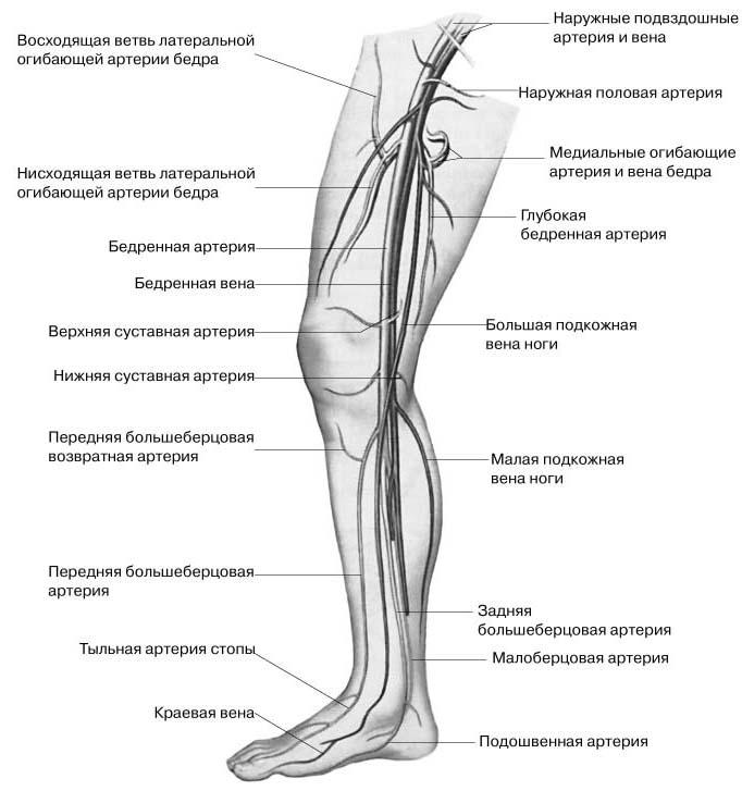 Кровеносная система коленного сустава рисунок голубая глина для суставов мокрая
