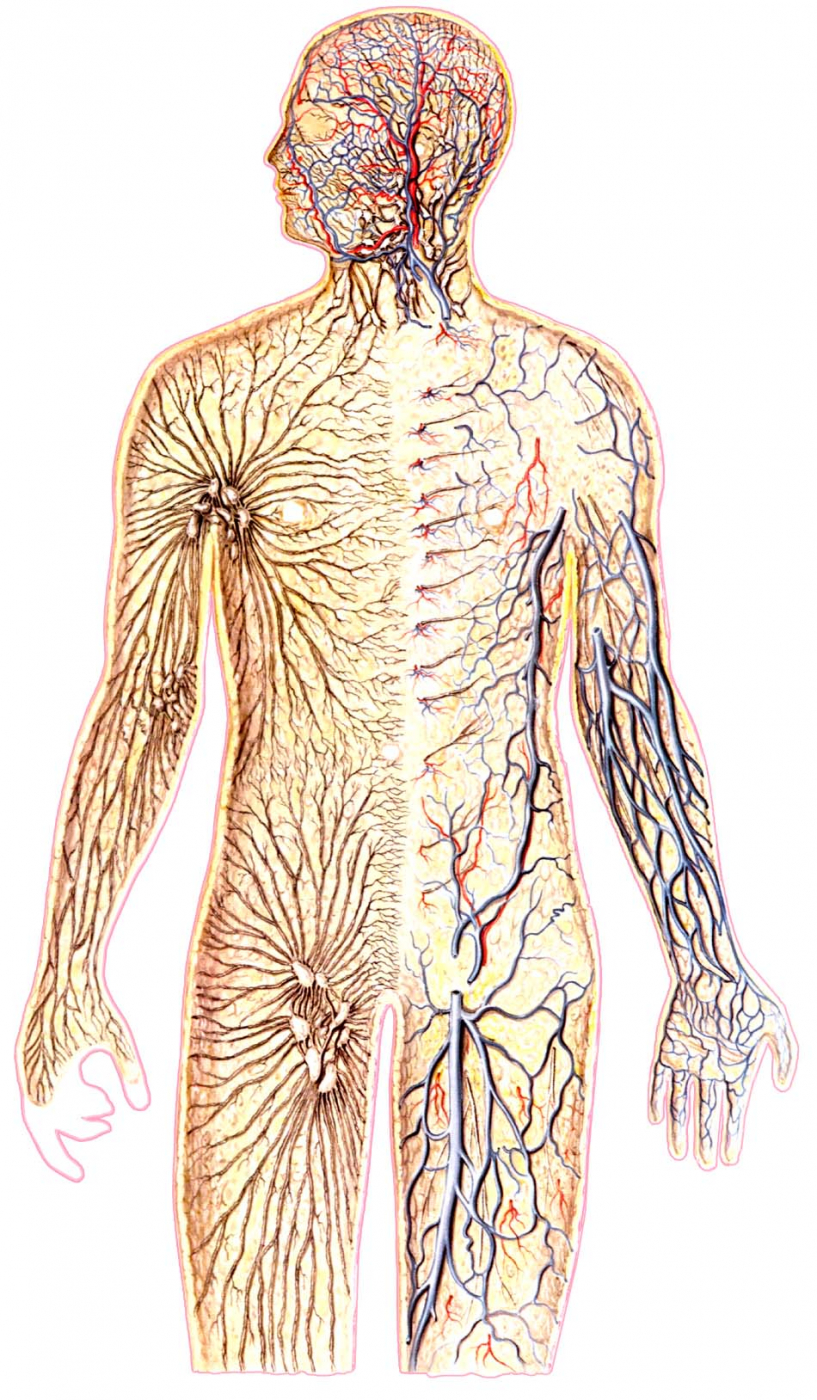 Жировая клетчатка жировые отложения структурах кишечника мышечная система полости суставо отсутствие ядер окостенения тазобедренных суставов лечение