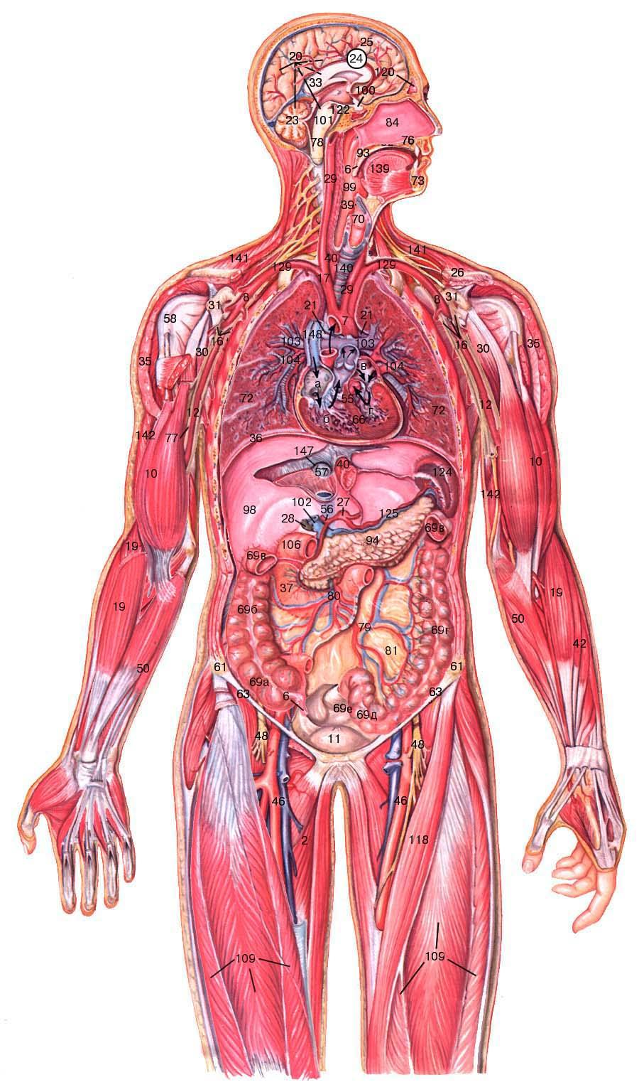 Подмышечная артерия10.  Двуглавая мышца плеча12.  Плечевая артерия16.