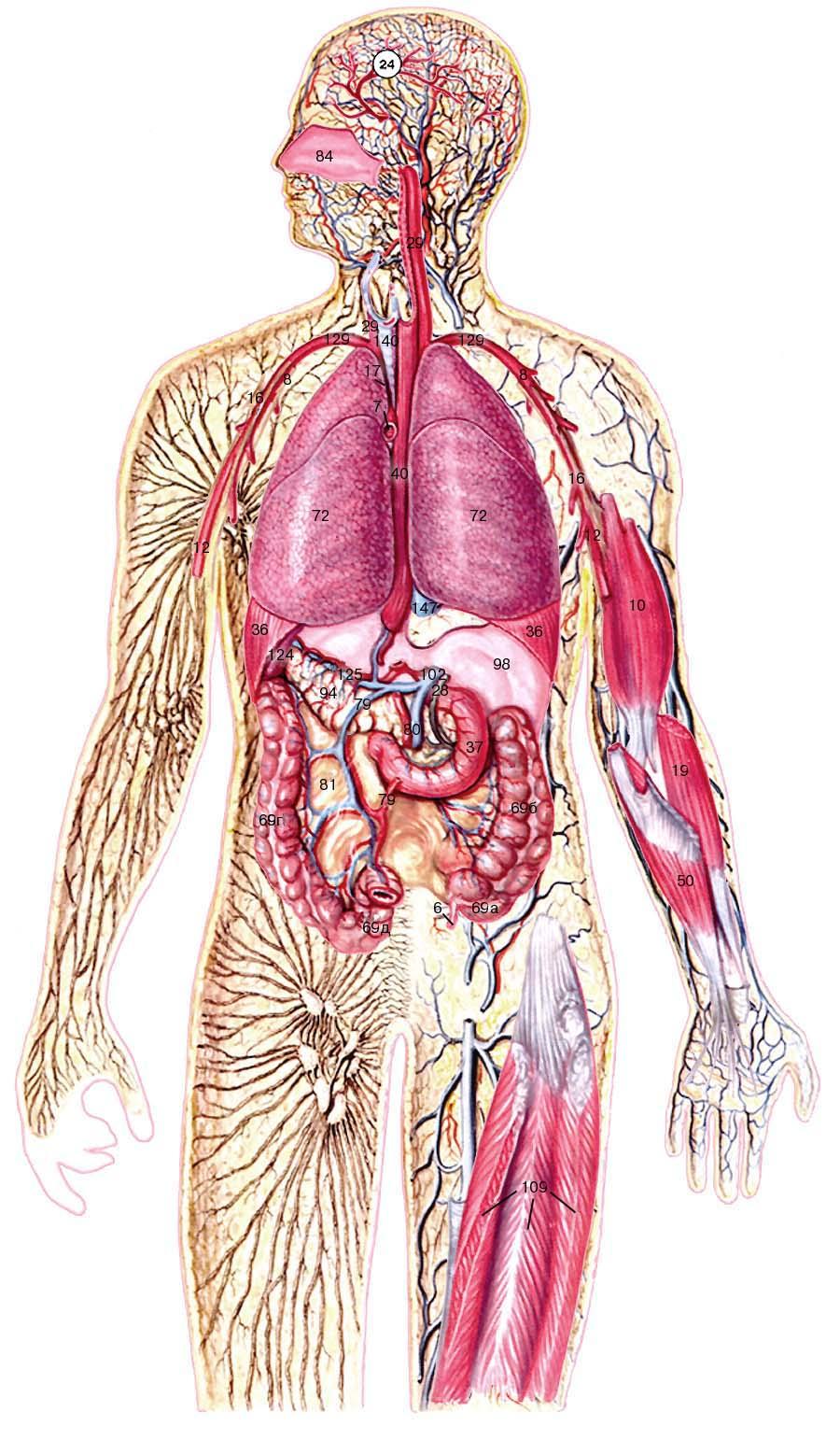 Как человек регулирует поперечнополосатые мышцы анального отверстия