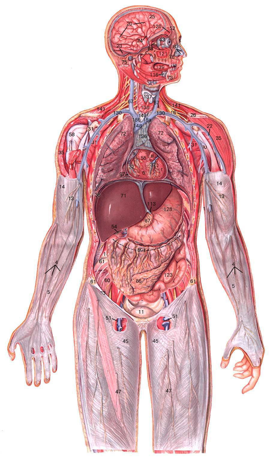 фото анатомии человека