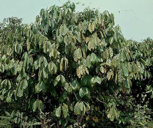 Кофейное дерево как называется