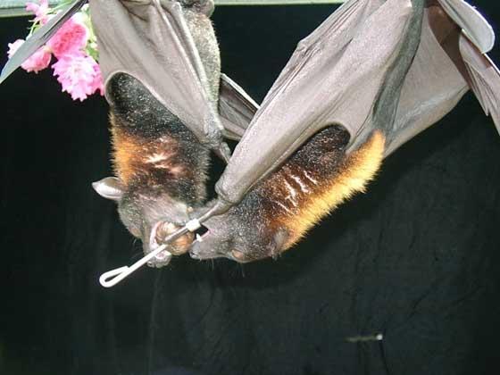 Lubee Bat Conservancy, Dana LeBlanc     БОЛЬШИЕ ЛЕТУЧИЕ ЛИСИЦЫ. (Pteropus vampyrus)