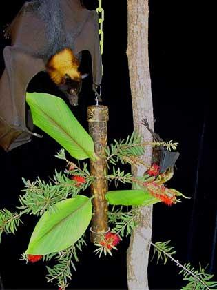 Lubee Bat Conservancy, Dana LeBlanc     БОЛЬШАЯ ЛЕТУЧАЯ ЛИСИЦА. (Pteropus vampyrus)