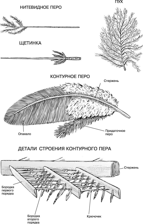 показалось, картинки строение пера птицы нем
