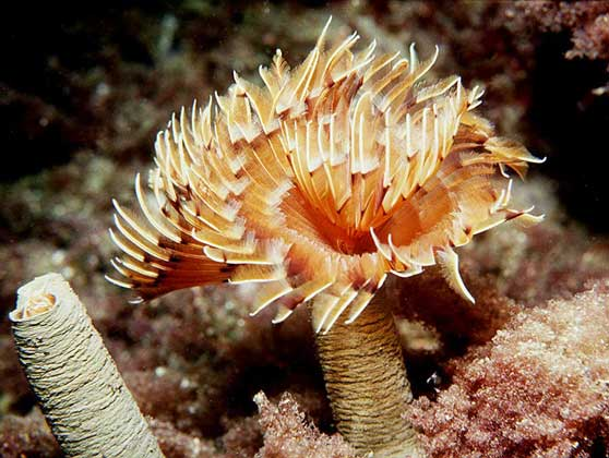 Морские кольчатые черви (Annelida) и их особенности | 420x558