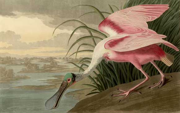 Audubon, John James.
