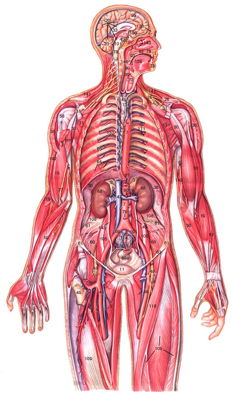Общая схема строения организма человека фото 872