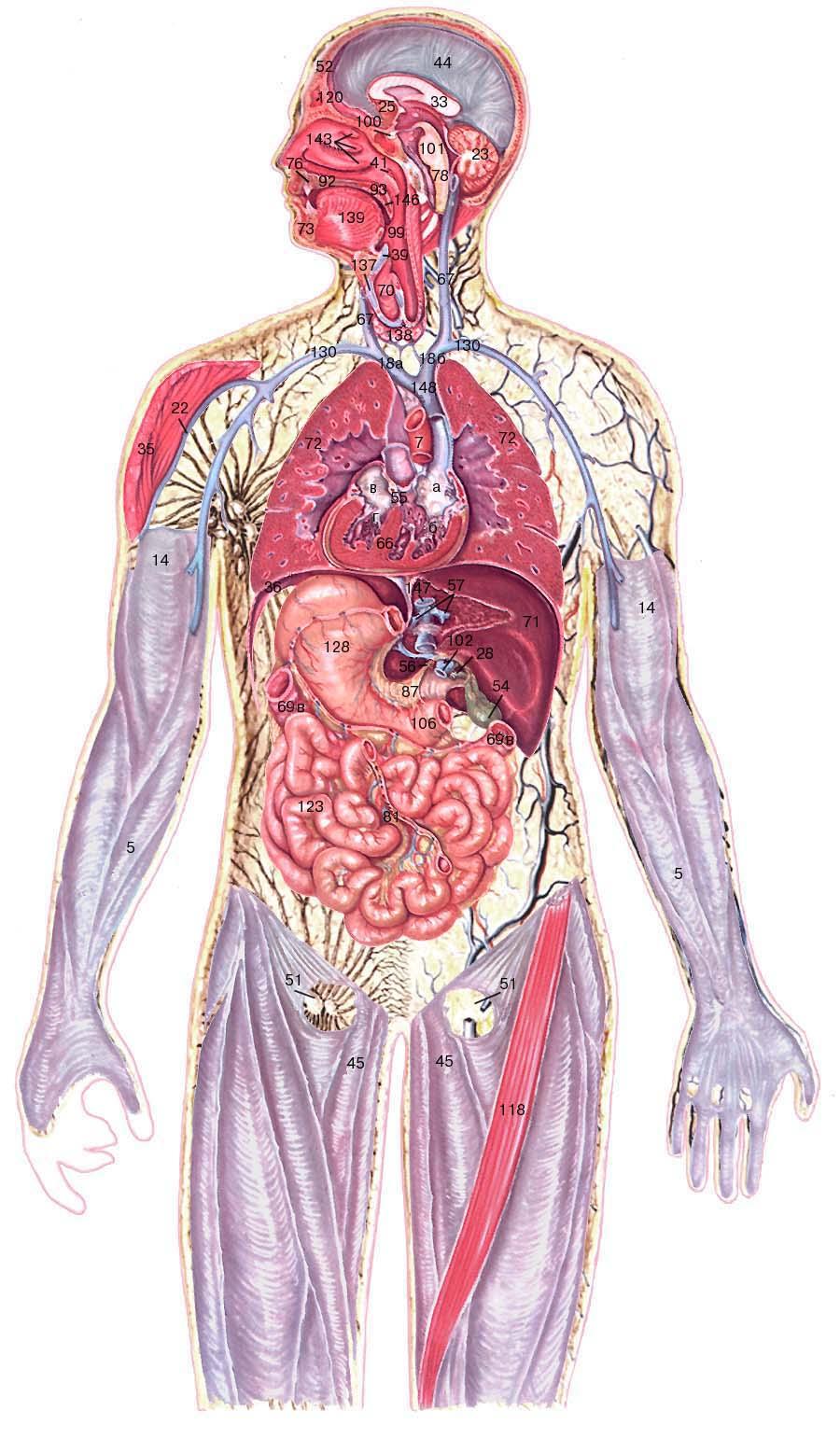 Общая схема строения организма человека фото 685